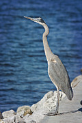Joan Mccool Metal Prints - Great Blue Heron Metal Print by Joan McCool
