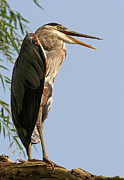 Animal Pics Prints - Great Blue Heron Print by Juergen Roth