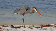 Mark Olshefski - Great Blue Heron Lunch...
