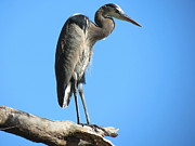 Mark Head - Great Blue Heron