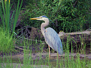 Adirondack Park Art - Great Blue Heron by Michael Chatt
