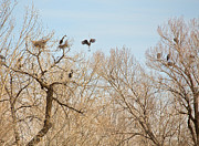James Bo Insogna - Great Blue Heron Nest...