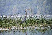 Finger Lakes Photo Originals - Great Blue Heron on Hemlock Lake by Steve Clough