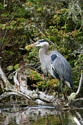 Ardea Herodias Framed Prints - Great Blue Heron on Log Framed Print by Randall Ingalls