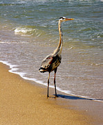 Florida Gifts Framed Prints - Great Blue Heron On The Surf. Framed Print by Chris  Kusik