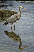 Carrie Cranwill - Great Blue Heron Oregon...
