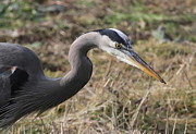 Wading Bird Posters - Great Blue Heron Portrait Poster by Angie Vogel