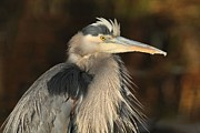 Great Pyrography Metal Prints - Great Blue Heron Portrait Metal Print by Daniel Behm