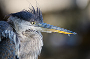 Daniel Forget - Great Blue Heron portrait