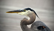 Sandi OReilly - Great Blue Heron Portrait