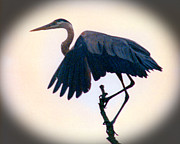 All - Great Blue Heron by R Thomas Brass
