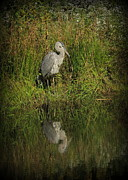 Kim Doran - Great Blue Heron...