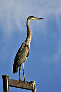 Great Birds Posters - Great Blue Heron  Poster by Saija  Lehtonen