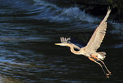 Scott Rackers - Great Blue Heron