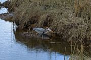 Lawrence Christopher - Great Blue heron...