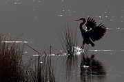 Gbh Posters - Great Blue Heron Silhouette Poster by Sharon  Talson