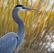 Jack Nevitt - Great Blue Heron Square...