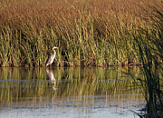 Steven Ralser Prints - Great blue heron Print by Steven Ralser