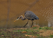 Crane Photos - Great Blue Heron Striking - 9216c by Paul Lyndon Phillips