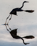 Birders Framed Prints - Great Blue Heron Takeoff Framed Print by John Daly