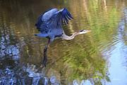 Diana Haronis - Great Blue Heron Taking Off