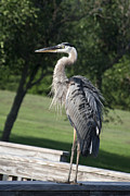 Teresa Jacobs - Great Blue Heron