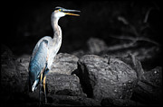 Tracy Munson Metal Prints - Great Blue Heron Metal Print by Tracy Munson