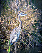 Troy Cherry - Great Blue Heron