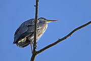 Bird On Tree Prints - Great Blue Heron underside Print by Sharon  Talson