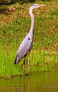 Oil Like Digital Art Metal Prints - Great Blue Heron VIII Metal Print by Buzz  Coe