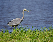 Wayne Lindberg - Great Blue Heron