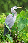 Ken Keener - Great Blue Heron with...
