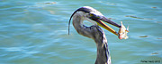 Palmer Hasty - Great Blue Heron With...
