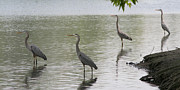 Great Pyrography Metal Prints - Great Blue Herons Metal Print by Bob and Jan Shriner