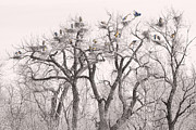Photography Prints Prints - Great Blue Herons Colonies  Print by James Bo Insogna