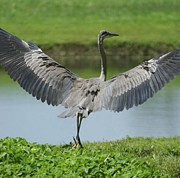 Legs Spread Photos - Great Blue Spreads Its Wings by Patricia Twardzik