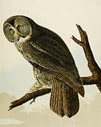 Perched Paintings - Great Cinereous Owl by John James Audubon