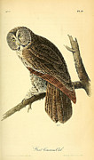 Audubon Drawings Posters - Great Cinerous Owl Poster by John James Audubon