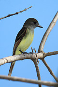 Alexander Galiano Posters - Great Crested Flycatcher Poster by Alexander Galiano