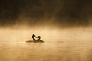 Des Ong FLPA - Great Crested Grebes