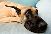 Nod Framed Prints - Great Dane Dog on sofa Framed Print by Lanjee Chee