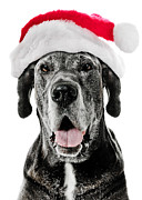Doggy Framed Prints - Great Dane Santa Framed Print by Jt PhotoDesign
