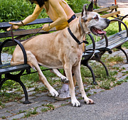 Dog Park Prints - Great Dane Sitting On Park Bench Print by Madeline Ellis