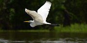 Great Birds Posters - Great Egret Amazon River Poster by Bob Christopher