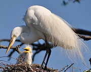 Lydia Holly - Great Egret and Chick