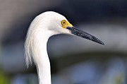 Great Egret Print by Andres LaBrada