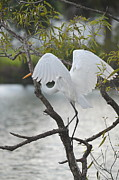 Diana Berkofsky - Great Egret Angel Wings