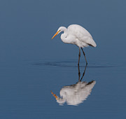 Great Egret Posters - Great Egret Poster by Angie Vogel