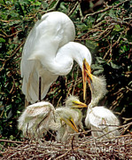 Fauna Posters - Great Egret Ardea Alba Feeding Chicks Poster by Millard H. Sharp