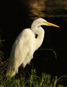Wade Prints - Great Egret At Morning Print by Robert Frederick